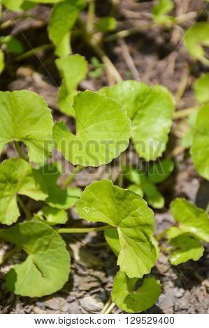 close up fresh green Centella asiatica plants in nature garden