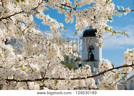 Blooming white flowers of cherry tree branches