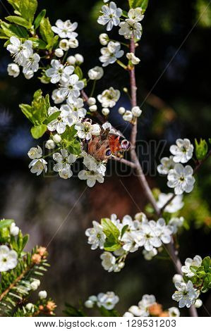 Butterfly on a branch of the blossoming wild plum