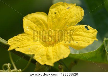 close up Sponge Gourd flower in garden - Luffa cylindrica