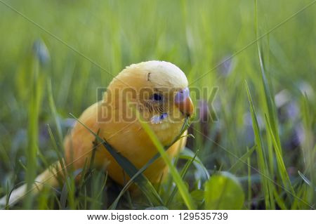 A small pet budgie munching seeding grass in a garden outdoor macro shot with a shallow depth of field