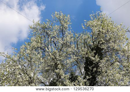 Spring flowering tree against a blue sky with clouds