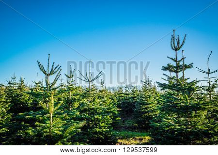 Christmas trees at a pine plantation in daylight