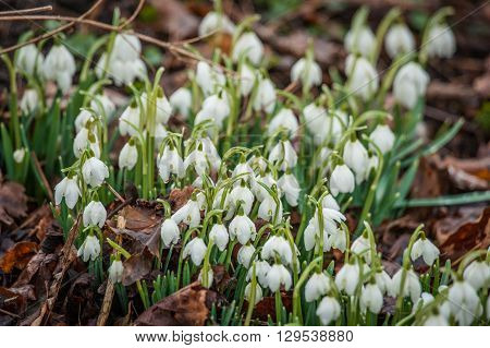 Many Snowdrop Flowers In The Forest
