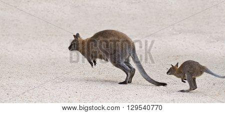 Two Kangaroo Jumping