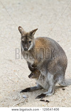 Kangaroo With Baby In Pouch