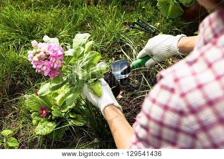 Planting Flowers in a garden closeup. Gardening