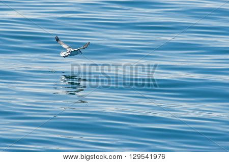 Seagull Flying Just Above The Water