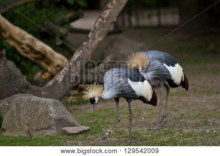 Crowned Crane, Balearica Regulorum