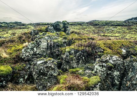 Moss On A Lava Field In Iceland