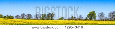 Rapeseed Field In Blue Sky In Panorama