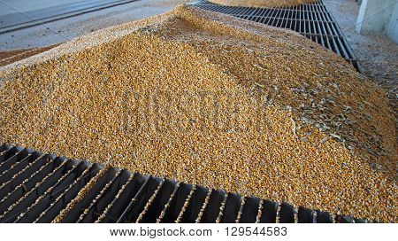Loading Corn into the Silo. Agricultural crops.