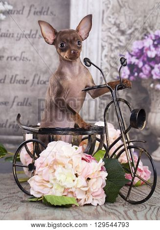 Toy Terrier on a bicycle,