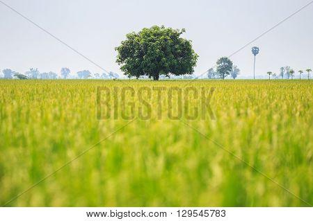 Big mango tree in green rice field Thailand
