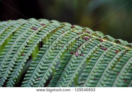 'ama'u Ferns In Hawaii Volcanoes National Park, Hawaii