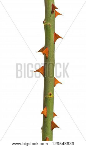 Green rose stem with yellow thorns isolated on white
