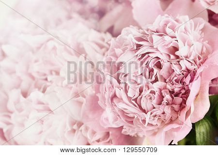 Beautiful toned pink peonies in the sunlight. Extremely shallow depth of field with selective focus on flower in foreground.
