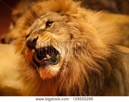 Muzzle of roaring lion laying on his side