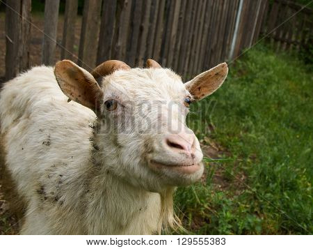 White dirty staring goat against the old wooden fence