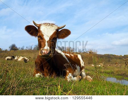 Piebald cow laying in the grass on the meadow with many cows and blue sky in background