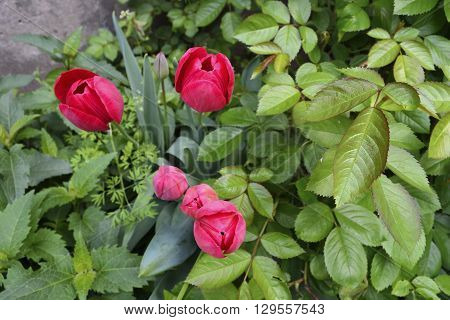 red tulips and roses curling bush in a garden on a background of gray wall