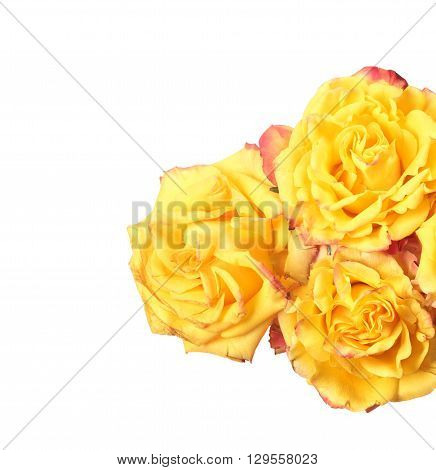 Three yellow roses isolated on white background