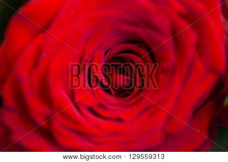 gardening, flowers, floristry, holidays and flora concept - close up of beautiful red rose flower