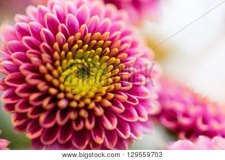 gardening, flowers, floristry, holidays and flora concept - close up of beautiful pink chrysanthemums
