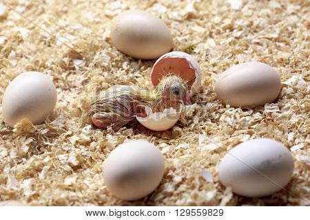 Birth of a baby chick on a farm