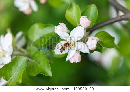 Bee insect pollinating apple tree flowers and collecting pollen
