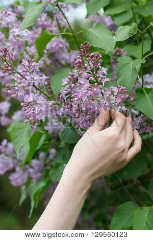 Woman hand touching beautiful lilac flowers branch