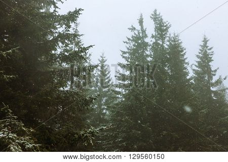 Forest with snowfall scene. Colored old styled image