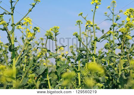 Blooming canola closeup with blue sky above