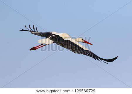 Flying white stork on the blue sky