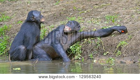 The Bonobos ( Pan Paniscus) Mating In The Pond.