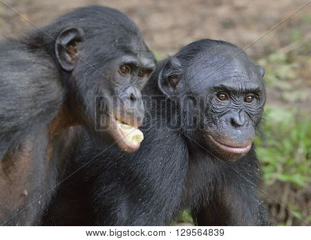 The Bonobos ( Pan Paniscus)
