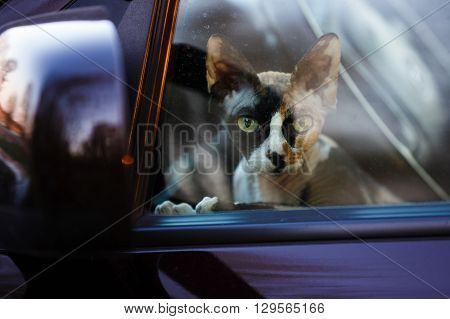 Cat breed sphynx looking through the car window
