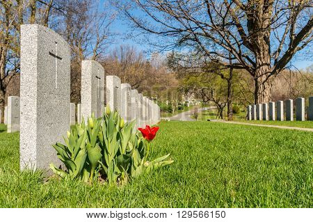 Soldier Tombs In Montreal Cemetery With A Red Tulip In Springtime
