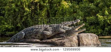Mating Nile Crocodile (crocodylus Niloticus). Two Crocodiles With Opened Mouth