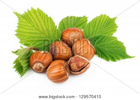 Hazelnuts organic plant with leaves on white background