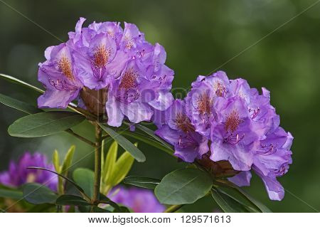 Catawba rosebay (Rhododendron catawbiense). Called Mountain rosebay Purple ivy Purple laurel Purple rhododendron Red laurel Rosebay Rosebay laurel also. Lateral view of flowers