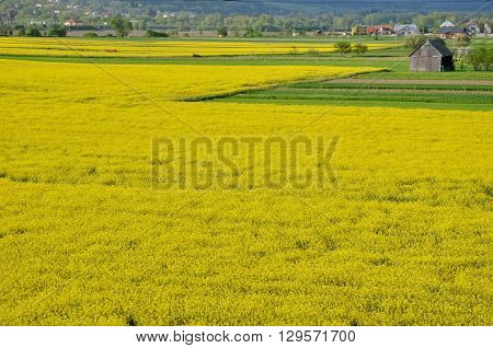 Yellow field of oilseed rape with wooden warehouse in background