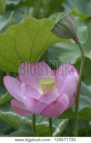 Sacred lotus (Nelumbo nucifera). Called Indian Lotus Bean of India and Lotus also. Image of flower and seedhead