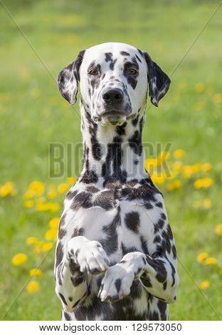 Cute happy dalmatian dog puppy sitting on fresh summer grass