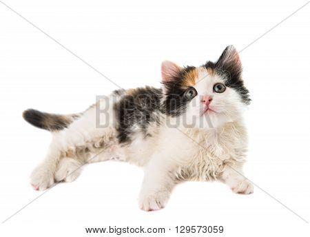 little kitten on white paw, pet, background