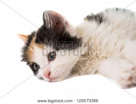 little kitten on white  kid, kit,  background