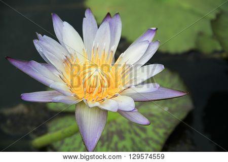 Beautiful purple lotus flower, Violet lotus blooming in the pond, Closeup lotus flower