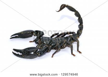 Black Scorpion isolated on white background;Poisonous animals without a backbone.