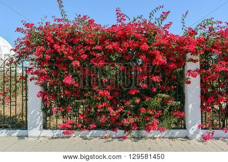 Beautiful Branch with red flowers of Bougainvillea in Africa