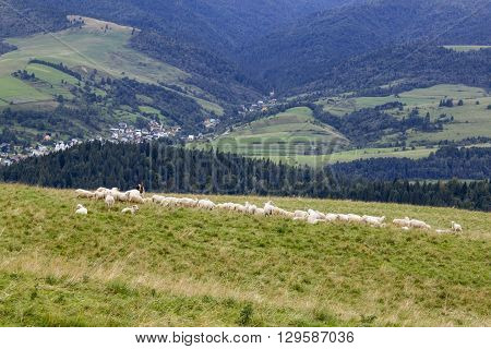 Shepherd with his flock in Pieniny Mountains, Poland